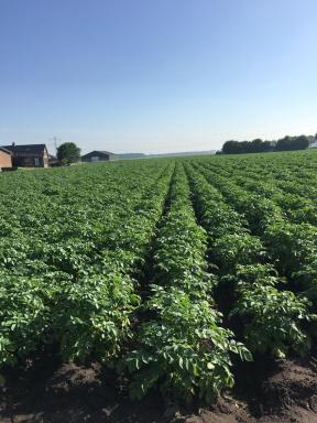 Aardappelen op het land
